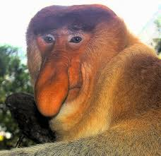 face of probiscus monkey