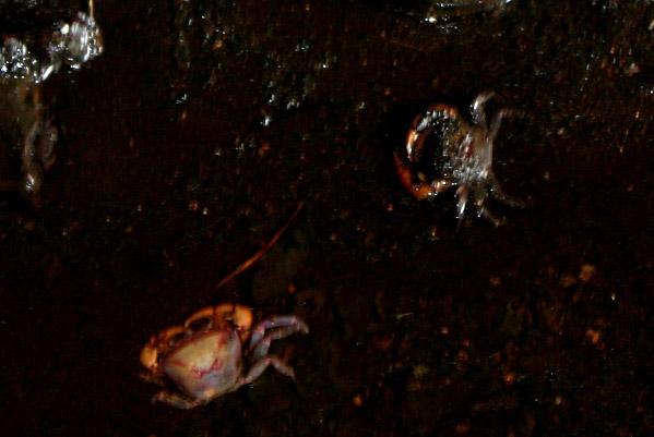 Gormantong cave crab