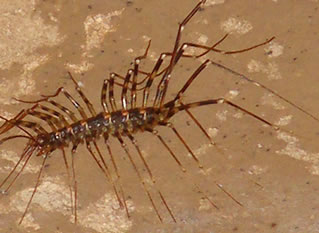 Gormantong insect 1