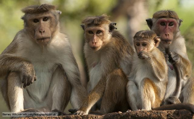 Dry Zone Toque Macaque (Macaca Sinica Sinica) group portrait