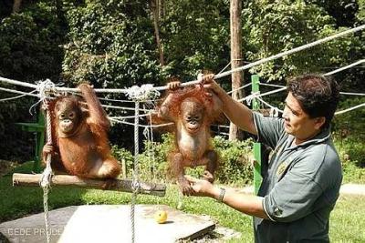orangutan nursey