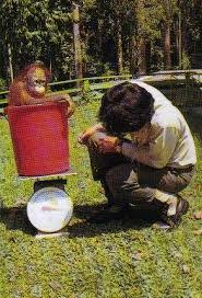 orangutan weigh in