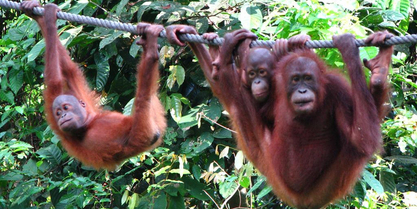 OrangUtans on rope