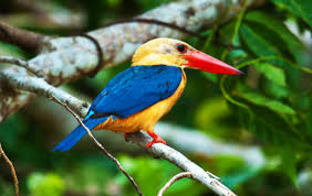 stork billed kingfisher 1