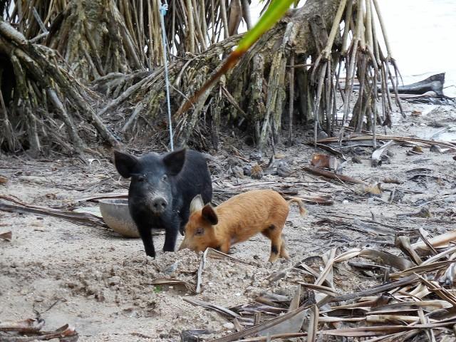 Fanning Island Pigs
