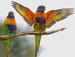 lorikeets showing off