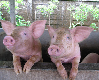 bali cute pigs