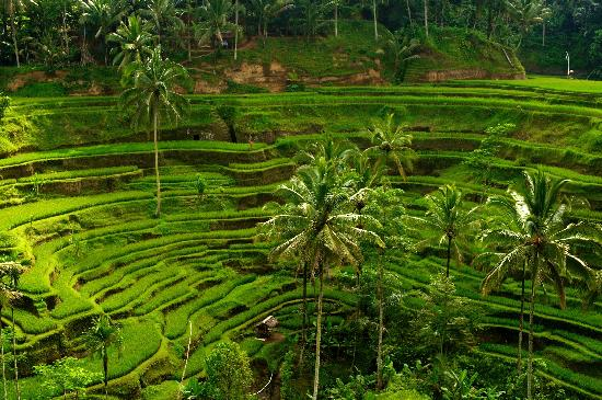 bali rice fields 4