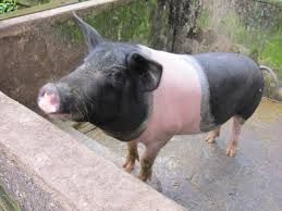 black and pink pig